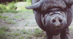 Schwein-Division