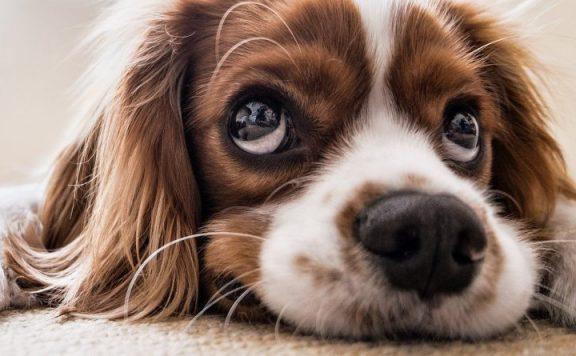Wolcen-Hund