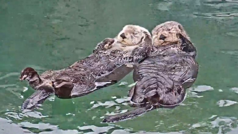 Otter Twitch