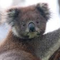 Koalaabear