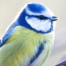Blaumeise